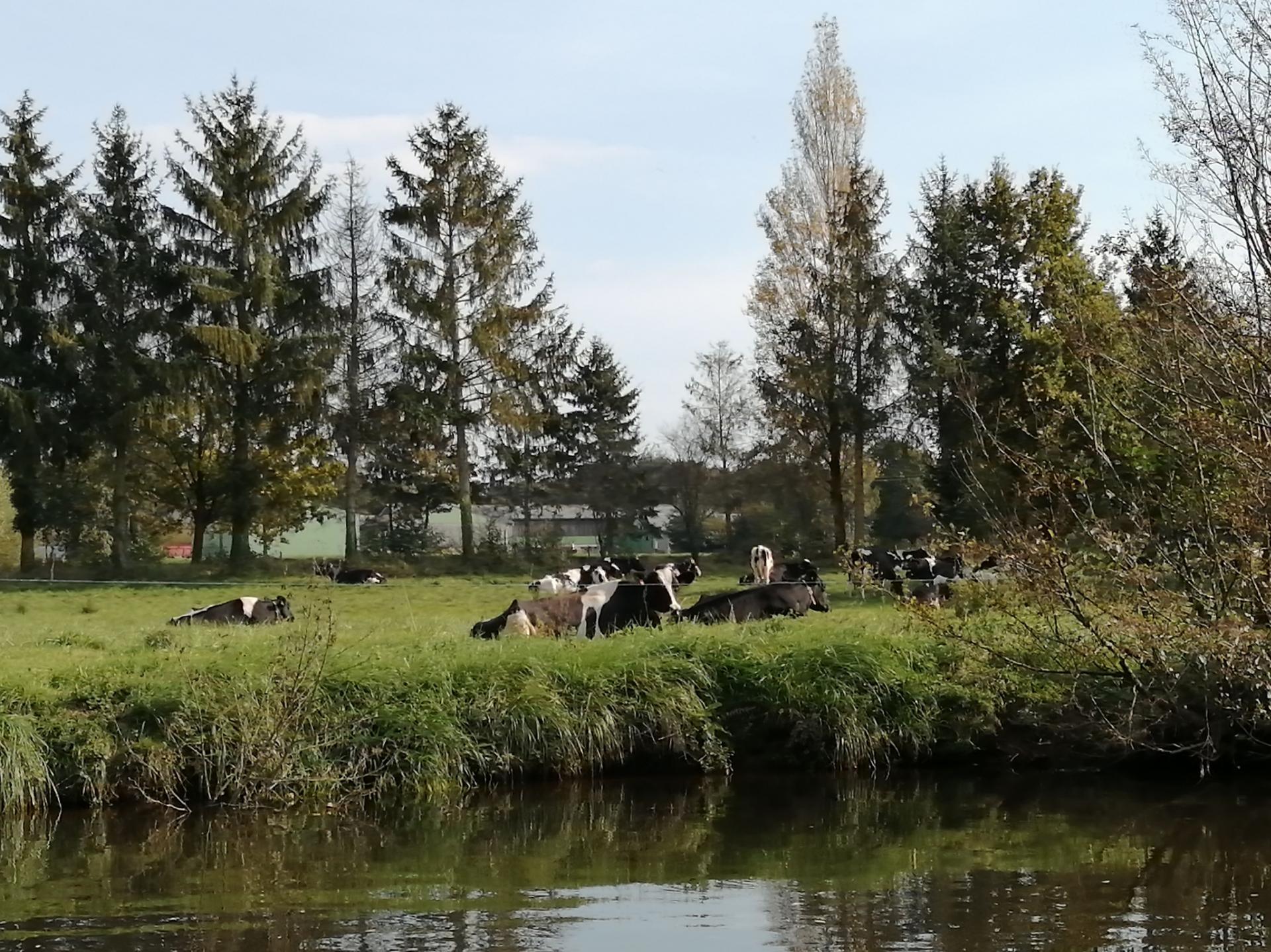 Paysage vache